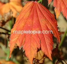 """AP Japonicum 'Emmett's Pumpkin' is an upright, full moon maple.  It's green leaves turn pumpkin-like orange in the fall.  Growth rate: 6-12"""" yearly, which x 30 could have this tree 20' at maturity.  It should be able to take sun. (10/1/14)"""