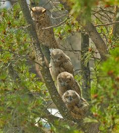 A mother horned owl perched with her three owlets on a pine tree branch adjacent to the administration building at Lawrence Livermore National Laboratory. #owls #wildlife #birds