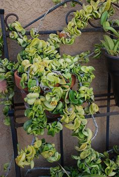 hoya (or hindu rope) plant - no direct sunlight, easy to water. Just bought one at an estate sale. The woman had been growing it for 30 years. I hope we can grow it for another Hoya Plants, Hardy Plants, Easy Garden, Lawn And Garden, Hindu Rope Plant, Water Flowers, Outdoor Plants, Cacti And Succulents, Growing Plants