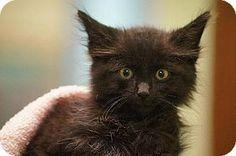 Little Rock, AR - Domestic Mediumhair. Meet Carrie (32289), a kitten for adoption. http://www.adoptapet.com/pet/11557009-little-rock-arkansas-kitten