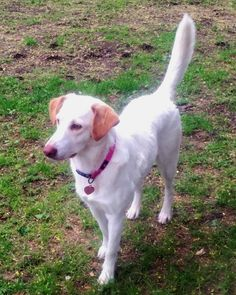 Meet Hannah - in Maine, an adoptable Labrador Retriever looking for a forever home. If you're looking for a new pet to adopt or want information on how to get involved with adoptable pets, Petfinder.com is a great resource.