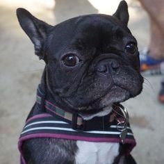 French Bulldog Puppy, soooo cute❤️❤️ #buldog