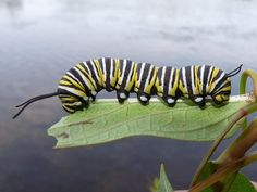 Monarch butterfly caterpillar -eats only milkweed. Encourage this plant to grow along fence rows and on your property to provide the food source for the caterpillar stage of this beautiful butterfly.