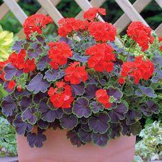 Black Velvet F1 Hybrid Scarlet Geranium Seeds