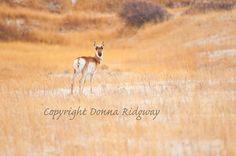 Animal photo antelope on prairie digital by NaturePhotosMontana, $3.50 Personal useage only.