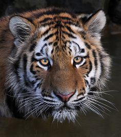 Amur Tiger - Bathing Beauty