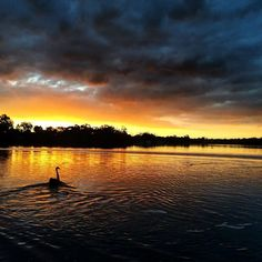 Black swan frolicking on sunset shittyiphone5 in #nature# travel# wallpaper in…
