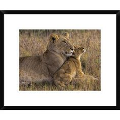Global Gallery, Henry Jager 'Baby Lion With Mother' Framed Giclee Print
