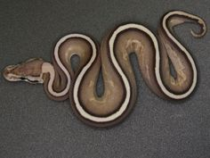Cinnamon Super Stripe Ball Python.