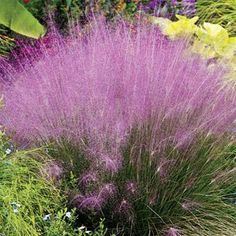 Pink Muhly Grass Add texture, movement and mass to your landscape. An easy-to-grow, native ornamental grass. Its delicate pink plume seed heads appear in late summer and completely envelop the foliage. Plant en masse, in a patio container or place them between shrubs in the landscape. This beautiful ornamental grass also is stunning in dried floral arrangements.  - See more at: http://www.springhillnursery.com/product/pink-muhly-grass-collection?