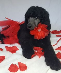 Sending Sweet Standard Poodle Poodle Puppy Kisses for Valentine& Day! Source by The post Sending Sweet Standard Poodle Poodle Puppy Kisses for Valentine& Day! appeared first on Stubbs Training. Maltese Poodle Puppies, Red Poodle Puppy, Poodle Mix Breeds, Poodle Grooming, Black Standard Poodle, Standard Poodles, Poodle Drawing, Red Poodles, Black Puppy