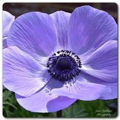 Thinking Spring! #spring #flowers #anemone