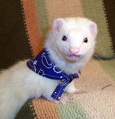 Ferret wearing bandana