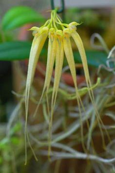 bulbophyllumpectenveneris1_178.jpg
