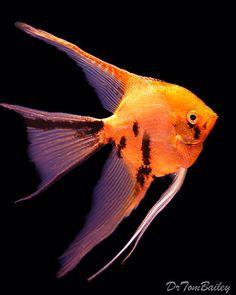Gold Marble Angelfish, Featured item. #gold #marble #angel #fish #petfish #aquarium #aquariums #freshwater #freshwaterfish #featureditem