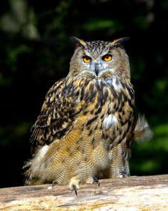 Eurasian Eagle Owl (Bubo bubo) by Paul Lathbury on 500px