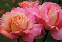 Chicago Peace® - Roses - Heirloom Roses