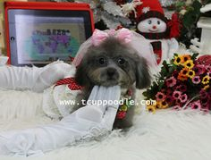 NO:101 Date of Birth:2013/06/01 Color:Silver poodle Gender:Female Size:Pocket -Super Tiny Teacup Poodle Estimate Weight:adult:1kg-1.3kg(2.2-2.86lb) Vaccination:3 Update:2013-12-23 Dog conditions: Koala looking face and short snout Rare Silver Teddy Bear Cute Face Is slowly turning into light silver Right now barely weights at 1075g(37.91oz)!! International ISO 11784 & ISO 11785 pet microchip for free Price: Please contact us for price quote!  You-Long  EN website…