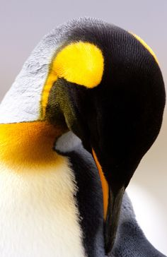 Colors of a king penguin