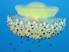 Lonely Jellyfish Produces Hundreds of Clones of Itself