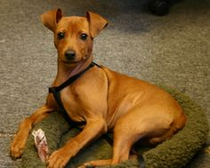 I love red mini pinschers! we just adopted one...Rex! He's so funny and smart...Love him!