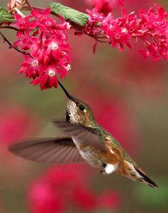 Hummingbird @}-,-;--