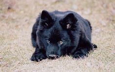 Swedish Lapphund / Svensk lapphund Puppy Dog