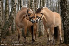 The Norwegian Fjord Horse | Flickr - Photo Sharing!