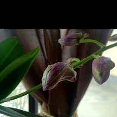 My about to flower orchid
