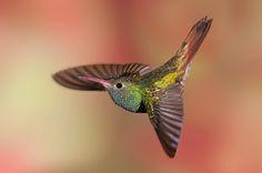 Buff-Bellied Hummingbird by Roy Priest, via 500px