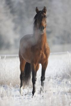 HORSE - Looks Frosty