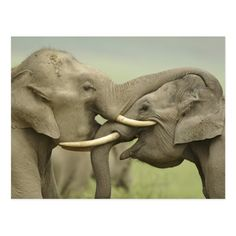 Elephant Artwork, Elephant Poster, Elephant Pictures, Elephants Photos, Asian Elephant, Elephant Love, Elephant Gifts, Elephant Species, Elephant Background
