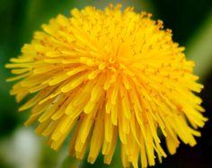 10 amazing healing plants from your garden: Dandelion