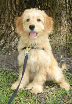 a goldendoodle puppy!