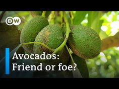 From avocado toast to guacamole, this superfood has stolen the hearts of foodies and the health conscious around the world. But where do avocados come from? Herbal Medicine, Superfood, Avocado Toast, Documentaries, Herbalism, Things To Come, Positivity, Guacamole, Foodies
