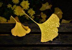 leuchtend gelbe Gingkoblätter, Foto: S. Hopp
