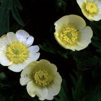 Ranunculus acris citrinus