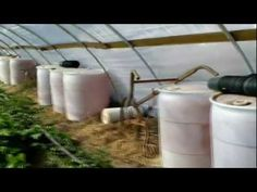 Extending greenhouse growing season using water barrels for heat retention