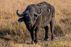 Oxpeckers hitching a ride on a buffalo in the Busanga Plains near Shumba Camp, Zambia
