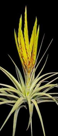 Air Plant - Concolor (Tillandsia) (EA). $4.00, via Etsy.