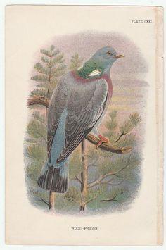 Wood Pigeon Bird Print From Handbook Of The Birds Of Great Britain 1896 Edition Edward Lloyd Ltd. by VintagePaperTrail on Etsy