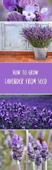 How To Grow Lavender From Seed