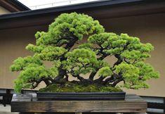 """Gefällt 21 Mal, 1 Kommentare - MiniGardens NZ (@minigardensnz) auf Instagram: """"Another Bonsai master piece from Omiya bonsai museum, Japan This is an imitation of white pine…"""""""