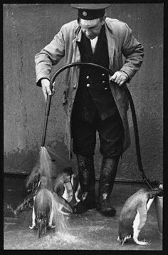 Hosing down the penguins at London Zoo (vintage)