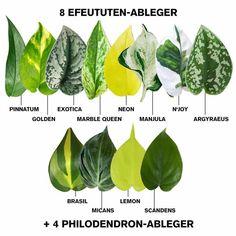 Leafy Plants, Rare Plants, Foliage Plants, Cool Plants, Tropical Plants, Calathea Plant, Platycerium, Household Plants, Greenhouse Plants