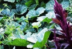 Lavanda - Tăiere, Înmulțire - magazinul de acasă Natural, Cabbage, Vegetables, Aur, Plant, Cabbages, Vegetable Recipes, Nature, Brussels Sprouts