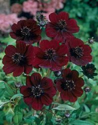 Chocolate Cosmos are my new favorite flower! Also known as chocolate cosmos, this cocoa-scented, burgundy-red flower is a good addition to sunny perennial gardens. Grows well in containers, too. Cosmos Flowers, Dark Flowers, Beautiful Flowers, Periannual Flowers, Cosmos Plant, Inexpensive Wedding Flowers, Modern Wedding Flowers, Wedding Colors, Chocolate Cosmos Flower