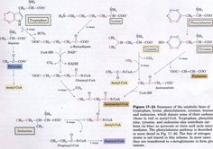 Chapter 17 : Amino Acid Oxidation and the Production of Urea
