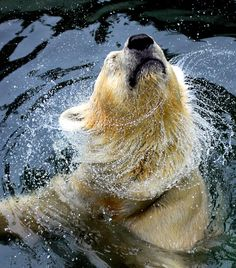 Mr. Polar Bear - shaking off any worries or cares!!! Feeling Good and Happy!!! Thank you my Michelle for sharing this with me so refreshing!!!