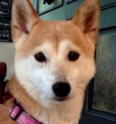 Tara is an adoptable Shiba Inu Dog in Chicago, IL Meet Tara!Tara is a wonderful and petite seven year young girl that was recently released from ... ...Read more about me on @petfinder.com